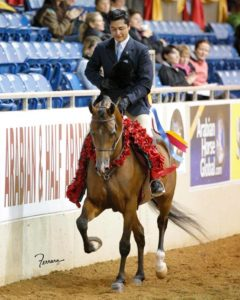 He Be A Bad Azz (by JRA Azul) Multi-National Champion Halter & Hunter