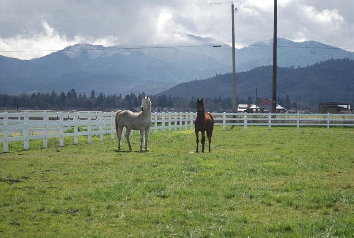 Marashah Arabians